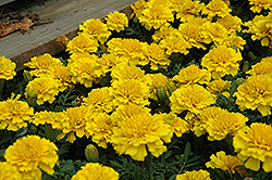 Janie Bright Yellow Marigold (Tagetes patula 'Janie Bright Yellow') at Meadows Farms Nurseries