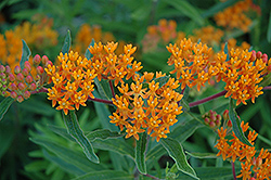 Gay Butterflies Butterfly Weed (Asclepias tuberosa 'Gay Butterflies') at Meadows Farms Nurseries