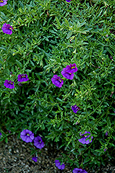 Superbells® Trailing Blue Calibrachoa (Calibrachoa 'Superbells Trailing Blue') at Meadows Farms Nurseries