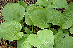 Fried Bananas Hosta (Hosta 'Fried Bananas') at Meadows Farms Nurseries