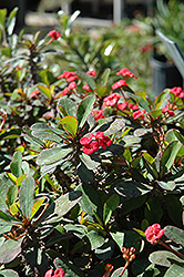 Crown Of Thorns (Euphorbia milii) at Meadows Farms Nurseries
