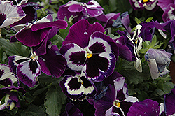 Delta Violet With Face Pansy (Viola x wittrockiana 'Delta Violet With Face') at Meadows Farms Nurseries