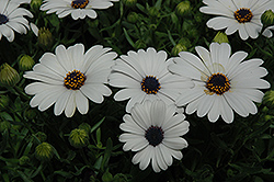 Serenity White African Daisy (Osteospermum 'Serenity White') at Meadows Farms Nurseries