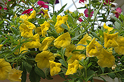 Superbells® Yellow Calibrachoa (Calibrachoa 'Superbells Yellow') at Meadows Farms Nurseries