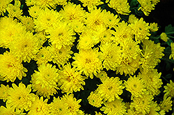 Daybreak Dark Yellow Chrysanthemum (Chrysanthemum 'Daybreak Dark Yellow') at Meadows Farms Nurseries
