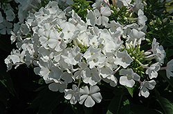 White Flame Garden Phlox (Phlox paniculata 'White Flame') at Meadows Farms Nurseries