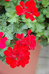Caliente Deep Red Geranium (Pelargonium 'Caliente Deep Red') at Meadows Farms Nurseries