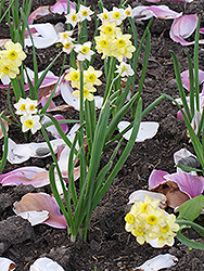 Minnow Miniature Daffodil (Narcissus 'Minnow') at Meadows Farms Nurseries