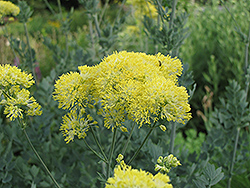 Yellow Meadow Rue (Thalictrum flavum 'Glaucum') at Meadows Farms Nurseries