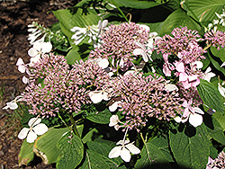 Mariesii Hydrangea (Hydrangea macrophylla 'Mariesii') at Meadows Farms Nurseries
