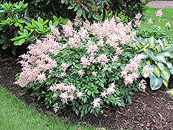 Peach Blossom Astilbe (Astilbe x rosea 'Peach Blossom') at Meadows Farms Nurseries