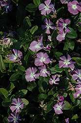 Titan™ Lavender Blue Halo Vinca (Catharanthus roseus 'Titan Lavender Blue Halo') at Meadows Farms Nurseries