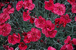 Eastern Star Pinks (Dianthus 'Red Dwarf') at Meadows Farms Nurseries