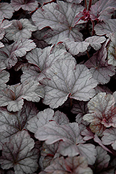 Cinnabar Silver Coral Bells (Heuchera 'Cinnabar Silver') at Meadows Farms Nurseries