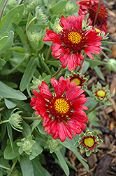 Burgundy Blanket Flower (Gaillardia x grandiflora 'Burgundy') at Meadows Farms Nurseries