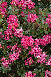 Pocomoke Crapemyrtle (Lagerstroemia 'Pocomoke') at Meadows Farms Nurseries