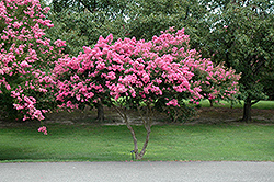 Crapemyrtle (Lagerstroemia indica) at Meadows Farms Nurseries