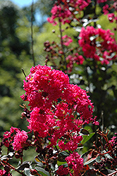 Pink Velour Crapemyrtle (Lagerstroemia indica 'Whit III') at Meadows Farms Nurseries