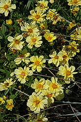 Galaxy Tickseed (Coreopsis 'Galaxy') at Meadows Farms Nurseries