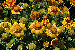 Arizona Apricot Blanket Flower (Gaillardia x grandiflora 'Arizona Apricot') at Meadows Farms Nurseries