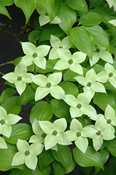 Milky Way Chinese Dogwood (Cornus kousa 'Milky Way') at Meadows Farms Nurseries