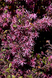 Red-Flowered Chinese Fringeflower (Loropetalum chinense 'var. rubrum') at Meadows Farms Nurseries