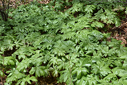 Mayapple (Podophyllum peltatum) at Meadows Farms Nurseries
