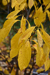 Spicebush (Lindera benzoin) at Meadows Farms Nurseries