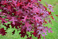 Scarlet Oak (Quercus coccinea) at Meadows Farms Nurseries