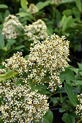 Dwarf Male Japanese Skimmia (Skimmia japonica 'Dwarf Male') at Meadows Farms Nurseries