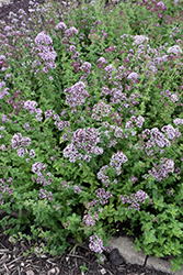 Oregano (Origanum vulgare) at Meadows Farms Nurseries