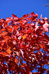 October Glory Red Maple (Acer rubrum 'October Glory') at Meadows Farms Nurseries