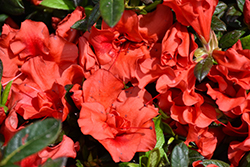 Encore® Autumn Embers™ Azalea (Rhododendron 'Conleb') at Meadows Farms Nurseries
