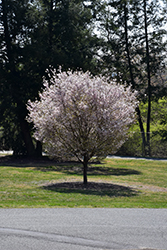 Autumnalis Higan Cherry (Prunus subhirtella 'Autumnalis') at Meadows Farms Nurseries