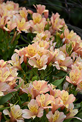 Inca Ice™ Alstroemeria (Alstroemeria 'Koice') at Meadows Farms Nurseries