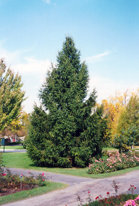 Norway Spruce (Picea abies) at Meadows Farms Nurseries