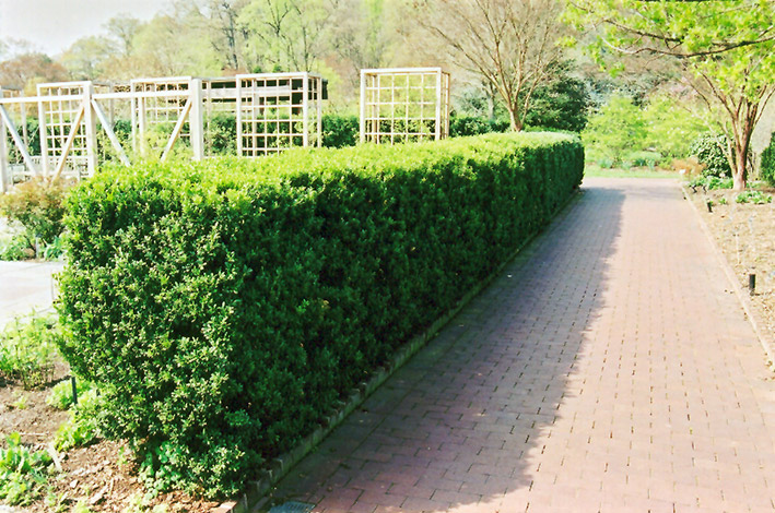 Common Boxwood (Buxus sempervirens) at Meadows Farms Nurseries