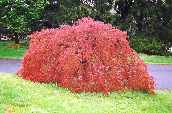 Weeping Japanese Maple Acer Palmatum Pendulum In