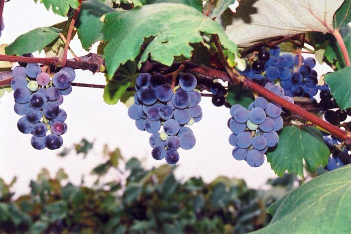 Concord Grape Vitis Concord In Richmond Fairfax Loudoun Prince