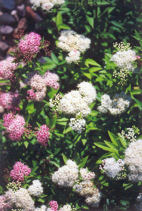 Shirobana Spirea (Spiraea japonica 'Shirobana') at Meadows Farms Nurseries