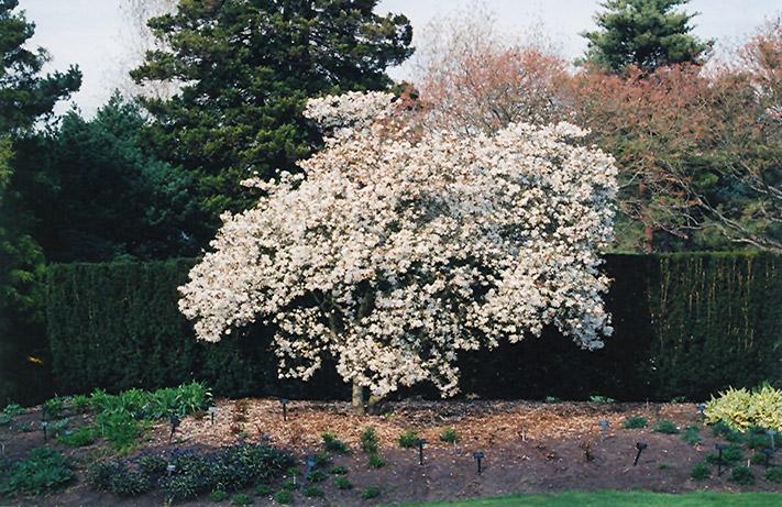 Star Magnolia Magnolia Stellata In Richmond Fairfax Loudoun Prince