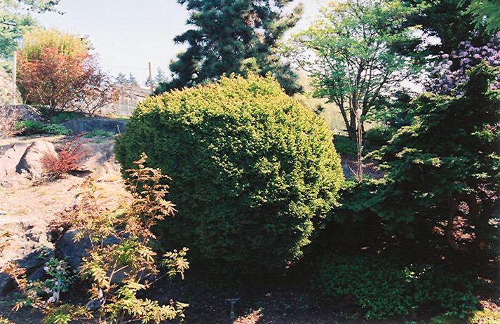 Dwarf Globe Japanese Cedar Cryptomeria Japonica Globosa In