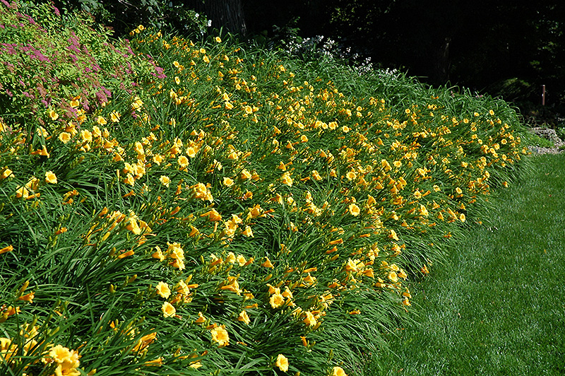 Happy Ever Appster Happy Returns Daylily (Hemerocallis 'Happy Returns') at Meadows Farms Nurseries