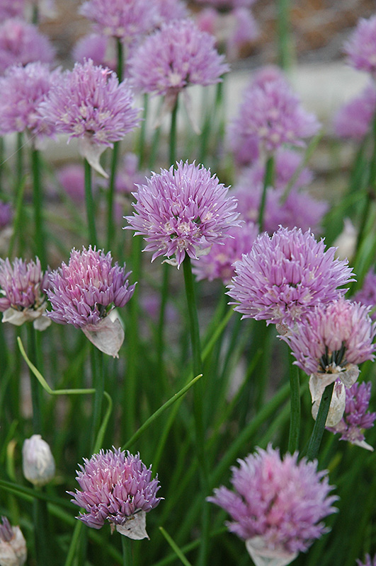 Chives (Allium schoenoprasum) at Meadows Farms Nurseries