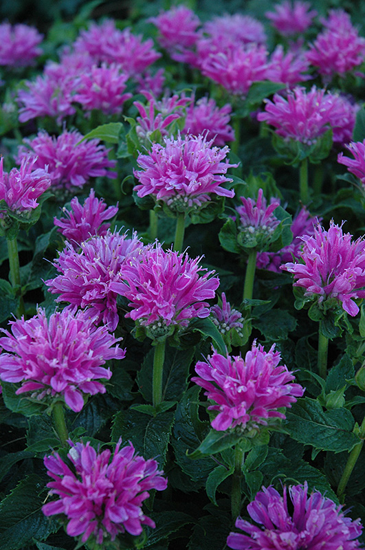 Petite Delight Beebalm (Monarda 'Petite Delight') at Meadows Farms Nurseries