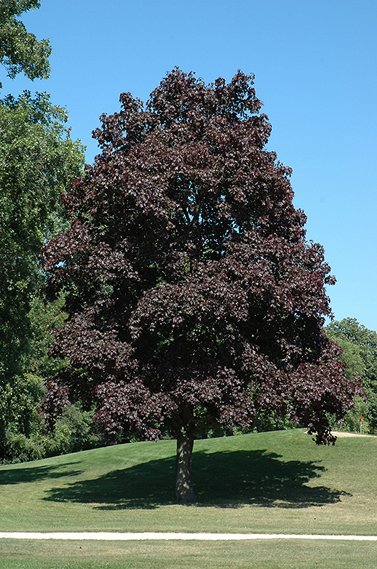 Crimson King Norway Maple (Acer platanoides 'Crimson King') at Meadows Farms Nurseries