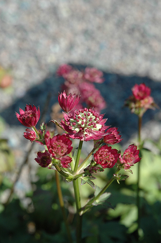Star Of Beauty Masterwort (Astrantia major 'Star Of Beauty') at Meadows Farms Nurseries