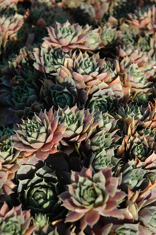 Red Heart Hens And Chicks (Sempervivum 'Red Heart') at Meadows Farms Nurseries