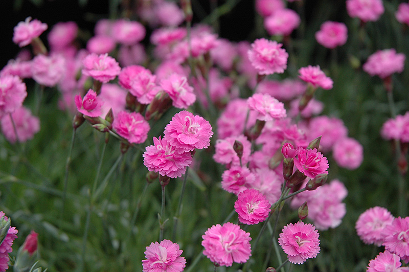 Tiny Rubies Dwarf Mat Pinks (Dianthus gratianopolitanus 'Tiny Rubies') at Meadows Farms Nurseries
