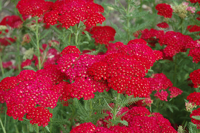 Pomegranate Yarrow (Achillea millefolium 'Pomegranate') at Meadows Farms Nurseries